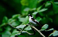 Halsbandschnäpper, Halsband-Schnäpper, Männchen, Ficedula albicollis, collared flycatcher, male, Le Gobe-mouche à collier