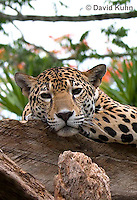 0522-1107  Goldman's Jaguar, Belize, Panthera onca goldmani  © David Kuhn/Dwight Kuhn Photography