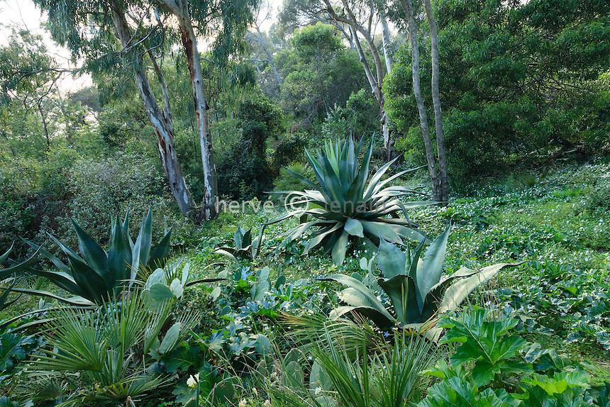 Le Domaine du Rayol:<br /> agaves sous eucalyptus et tapis de pervenche difforme, acanthe, oponce.