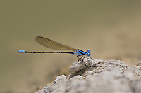 338400019 a wild male blue-ringed dancer argia sedula perches on a rock in topock marsh near five mile landing havasu national wildlife refuge arizona united states