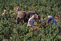 Europe/France/Languedoc-Roussillon/66/Pyrénées-Orientales/Environs Banyuls-sur-Mer : vendanges traditionnelles avec le mulet, AOC Banyuls [Non destiné à un usage publicitaire - Not intended for an advertising use] [Non destiné à un usage publicitaire - Not intended for an advertising use]<br /> PHOTO D'ARCHIVES // ARCHIVAL IMAGES<br /> FRANCE 1990
