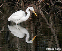 0111-0933  Great Egret Wading in Water Hunting for Prey, Ardea alba  © David Kuhn/Dwight Kuhn Photography.