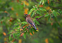 Cedar Waxwing with Berry  #B119
