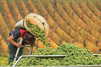 France, Cher (18), région du sancerrois, Bué, vendange à la main de raisin du cépage sauvignon, du domaine Salmon  //  France, Cher, Sancerre region, Bué, Hand harvest of sauvignon grape, estate Salmon