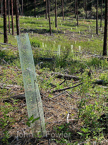 Protection of young trees in pine reforestation