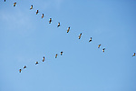 Flock Of Birds In Formation