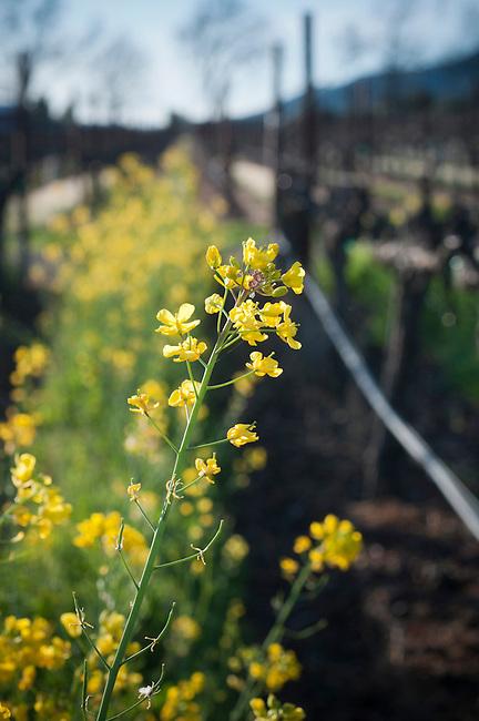 Spring mustard in Napa Valley vineyard