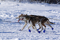 Sunday, March 4, 2012  Bill Pinkham's dogs on Long Lake after the restart of Iditarod 2012 in Willow, Alaska.