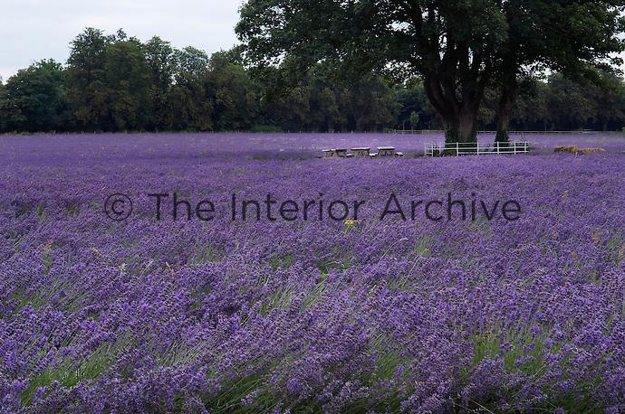 A field of lavender in full flower