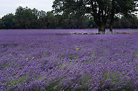 A field of lavender in full flower