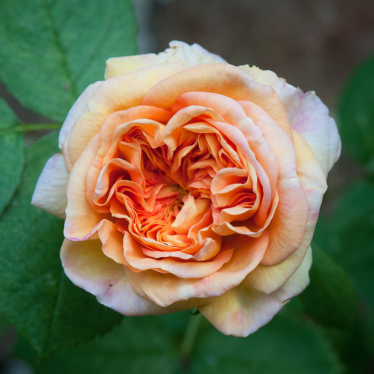 Rosa 'Alchymist', mid June. A modern climbing rose from the 1950s. Fragrant yellow-orange flowers.