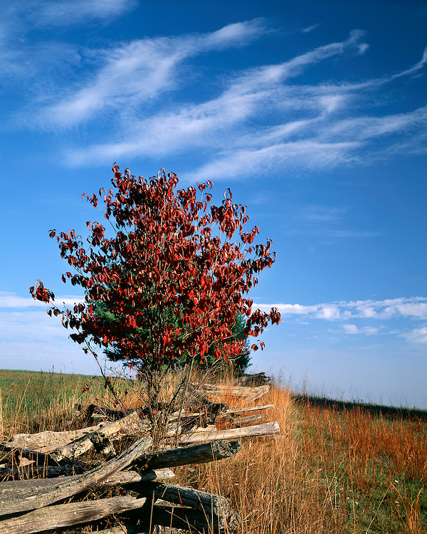 Dogwood tree in fall color; Pipestem State Park, WV