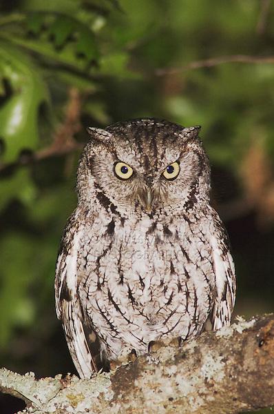 Eastern Screech-Owl, Megascops asio, adult at night in Texas Oak (Quercus buckleyi)Uvalde County, Hill Country, Texas, USA