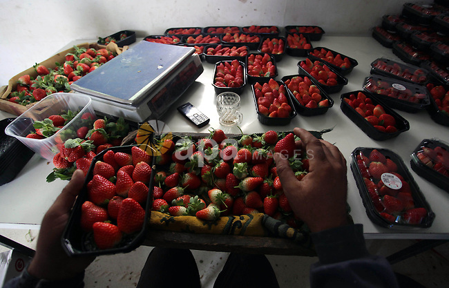A Palestinian man packs strawberries after harvest in Beit Lahia, in the northern Gaza Strip, on December 10, 2013. Some 250 acres of strawberry crop are cultivated in these fields yielding some 2500 tons of fruit, some of which will be exported to European countries, helping the stagnant economy of the enclave. Photo by Ashraf Amra