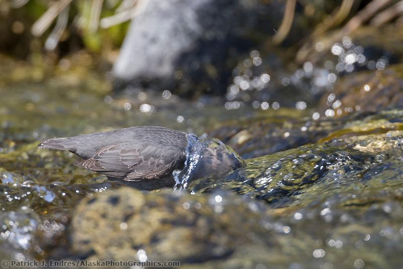 American dipper feeding in mountain stream, Interior, Alaska.