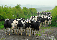 The organic herd on the way in for milking.