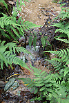The water from seeps in a headwater area collect into a rivulet that flows under ferns.  Dozens of rivulets like this one combine to form a small stream that flows out of the area.