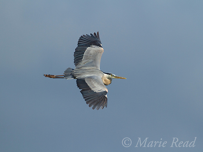 Great Blue Heron (Ardea herodias), in flight, top view of wings, Viera wetlands, Florida, USA