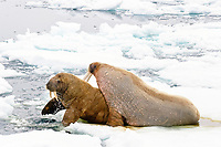 Atlantic walruses, Odobenus rosmarus rosmarus, male and female on an ice floe, Spitsbergen, Norway, Europe