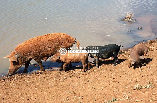 Mother pig with half grown piglets beside pond near Vinales; Pinar Province; Cuba,