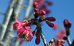 Honey bees love the ornamental cherries, since they are the first tree to bloom in the spring.