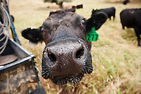 Cow sticks nose towards camera