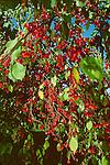 3053-CB Red Jade Crabapple, Malus Red Jade at Minnesota Landscape Arboretum