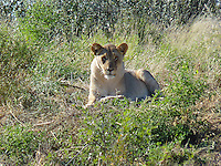 Female Lioness - (Panthera leo) watching the movements of tourists pointing their cameras for the perfect shot !!.
