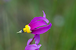 Shooting Star wildflower close up from Montana
