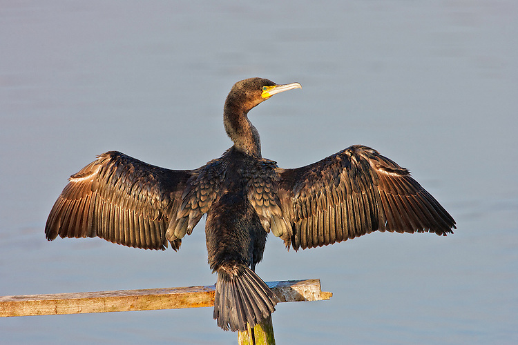 European Shag (Phalacrocorax aristotelis) With wings outstreached, drying out just after a fising trip, in late afternoon with golden sunset.