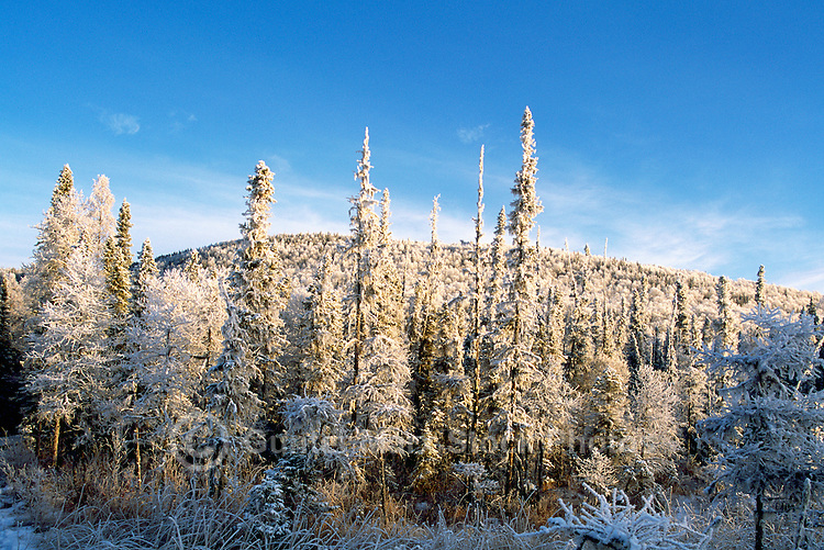 Winter Setting of Frosted Trees in Boreal Forest, in Liard River Hot Springs Provincial Park, Northern British Columbia, Canada