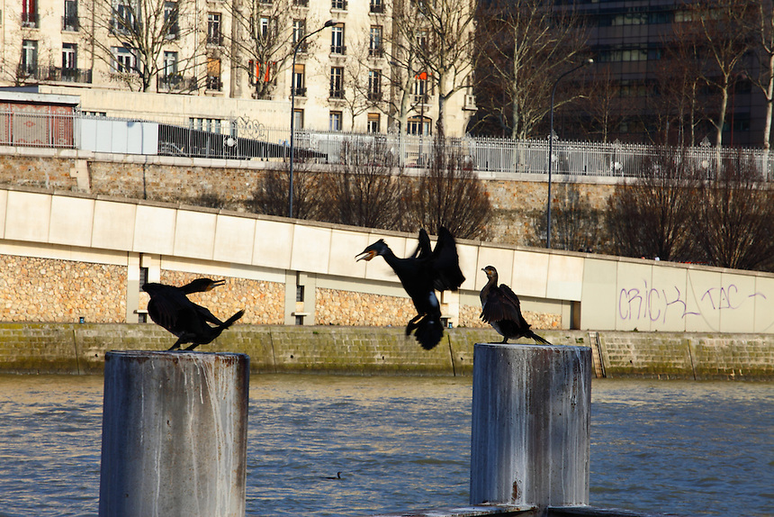 Paris: This is a group of three Great Cormorants (Phalacrocorax carbo) that was used to stay on these pillars along the Seine river, near the mouth of the Canal de Saint Martin. Here one of them is just arriving and it is quarreling for the position to occupy. You can download this file for (E&PU) only, but you can find in the collection the same one available instead for (Adv).
