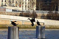 This is a group of three Great Cormorants (Phalacrocorax carbo) that was used to stay on these pillars along the Seine river in Paris, near the mouth of the Canal de Saint Martin. Here one of them is just arriving and it is quarreling for the position to occupy. Digitally Improved Photo.