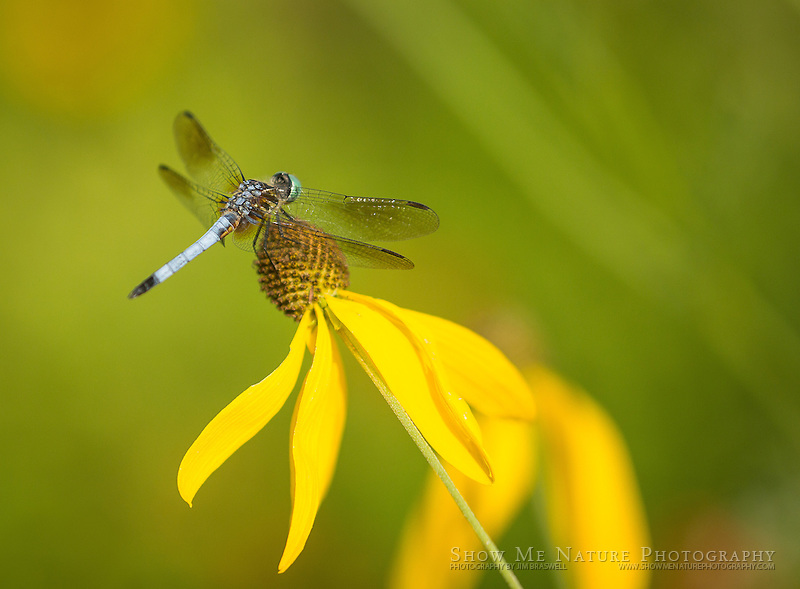 Male Eastern Pondhawk resting in my wildflower garden