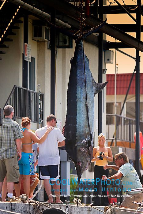 Blue Marlin, Makaira nigricans, 550 lb. sport fishing trophy catch, Honokohau Harbor, off Kona Coast, Big Island, Hawaii, Pacific Ocean, Digital Composite