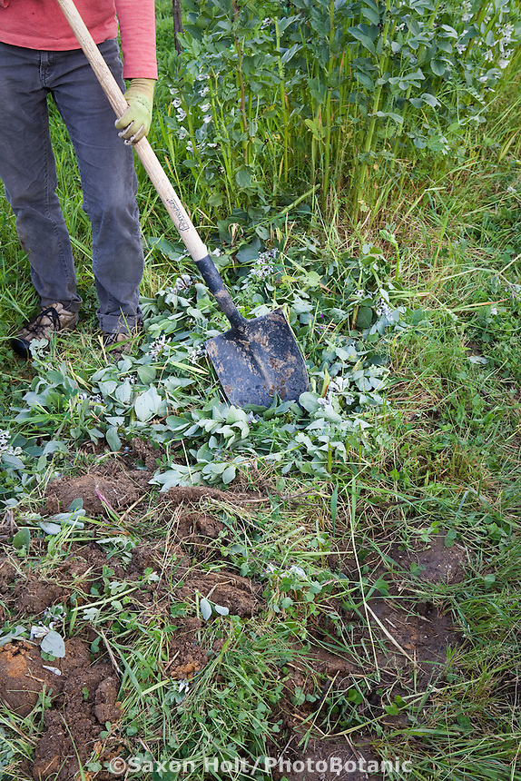 chopping up, turning in faba or fava bean, bell bean, green manure cover crop in sustainable garden