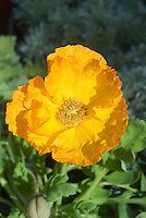 Papaver nudicaule aka croceum 'Champagne Bubbles' poppies Iceland Poppy in yellow gold flowers - single one color of variety