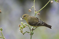 Lesser Goldfinch, Carduelis psaltria, female eating seeds of Spiny Sow-Thistle (Sonchus asper), Uvalde County, Hill Country, Texas, USA
