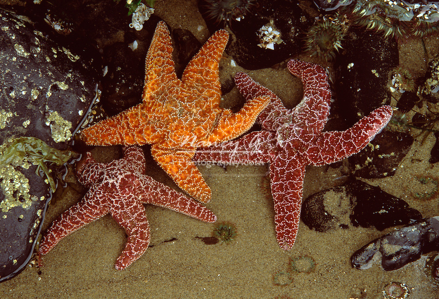 Three starfishes in tidal pool, Cannon Beach Oregon