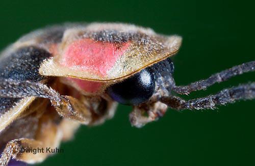 1C24-733z  Pyralis Firefly - Lightning Bug - Closeup of face and head - Photinus spp.