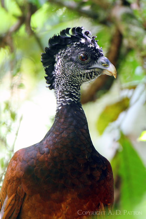 Female great curassow