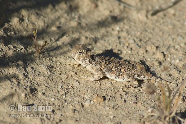 Desert horned lizard, Phrynosoma platyrhinos, Red Rock Canyon State Park, California
