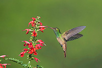 Buff-bellied Hummingbird (Amazilia yucatanenensis), male in flight feeding on Tropical Sage (Salvia coccinea), Sinton, Corpus Christi, Coastal Bend, Texas, USA, North America