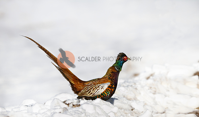 Male Ring-Necked Pheasant on ground in snow