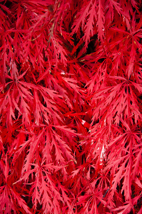 Autumn foliage of Acer palmatum 'Garnet', early November.