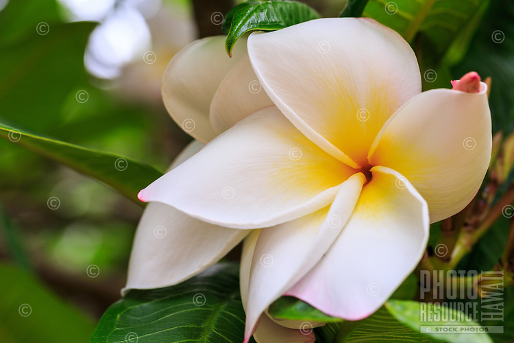 A close-up of a pristine plumeria flower in Limahuli Garden and Preserve, Hanalei, Kaua'i.