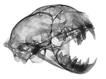 X-ray image of a bobcat skull and jaw (black on white) by Jim Wehtje, specialist in x-ray art and design images.