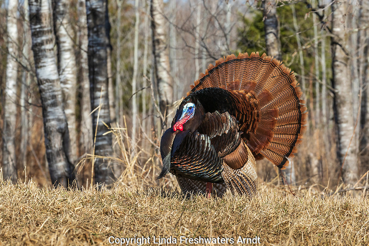 Eastern wild Turkey strutting in a northern Wisconsin field.