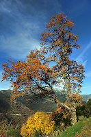 A tree with winter colors near Dimitsana in Arcadia, Peloponnese, Greece.