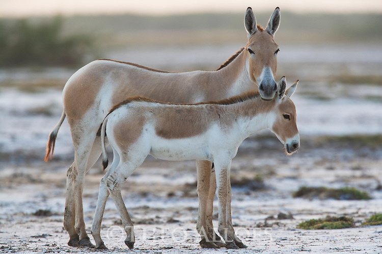 Indian wild ass mother with foal (Equus hemionus khur), in dry clay pan, dry season<br /> The Indian wild ass's range once extended from western India, through Sind and Baluchistan, Afghanistan, and south-eastern Iran. Today, its last refuge lies in the little Rann of Kutch and its surrounding areas of the Greater Rann of Kutch in the Gujarat province.